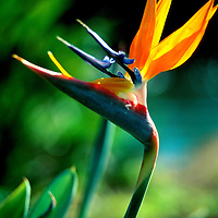 Heliconia Bird of Paradise blossom