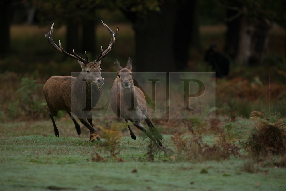 © Licensed to London News Pictures.25/10/2014. Richmond, Surrey. Deer lock antlers at Sunrise in Richmond Park London. Photo credit :IAN SCHOFIELD/London News Pictures