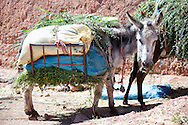 Donkey loaded with grass, Morocco.