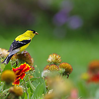 Bird photography from New England nature photographer Juergen Roth showing an American Goldfinch in brilliant yellow colors at The Gardens at Elm Bank in Wellesley, Massachusetts. Elm Bank is a beautiful outdoor area that features the garden, soccer fields and hiking trails along Charles River.<br />