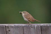 Stock photo of house wren captured in Colorado.  This inquisitive bird was named for its tendency to nest around human homes.