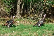Turkeys, Southold, NY