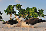 Bonding laysan albatross preen each other sitting in the sand near naupaka plant.