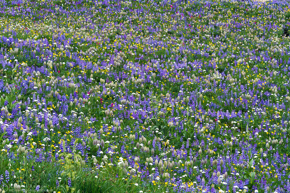 A field of Lupines and other wildflowers in Mount Rainier National Park in Washington State, USA.