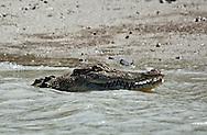 saltwater crocodile, estuarine crocodile or indo-pacific crocodile, Crocodylus porosus.  Hunter River, Kimberly, Northern Australia.