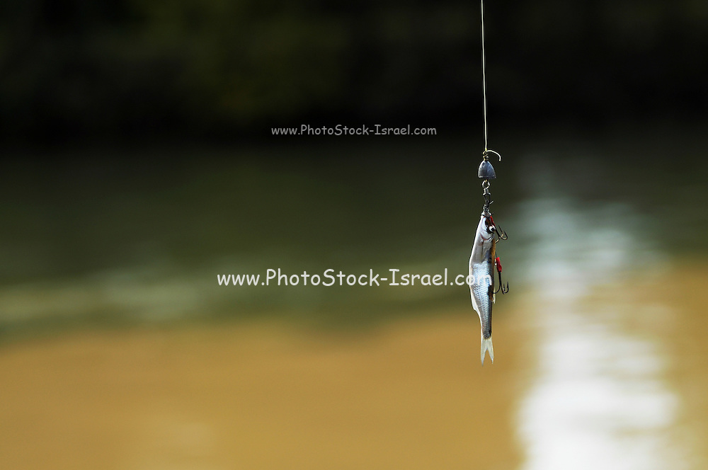 Fishing - A fish hanging of a hook and wire