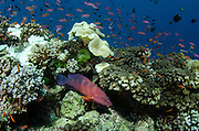 Coral Grouper (Cephalopholis miniata)<br /> and coral reef<br /> Fiji. South Pacific