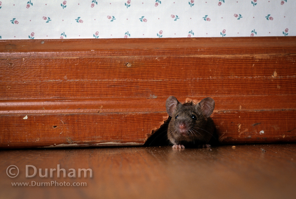 A european house mouse (Mus musculus) emerging from wall molding. Portland, Oregon. These rodents have followed humans around the world to every continent. captive.