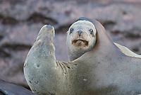 California Sea Lions on Los Islotes in Baja California Sur, Mexico.