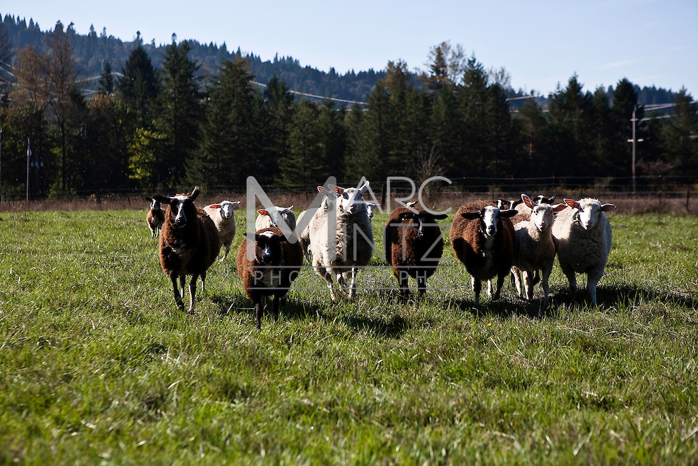 Ancient Heritage Dairy.  Fine artisan cheeses made from the heart in Oregon, USA.