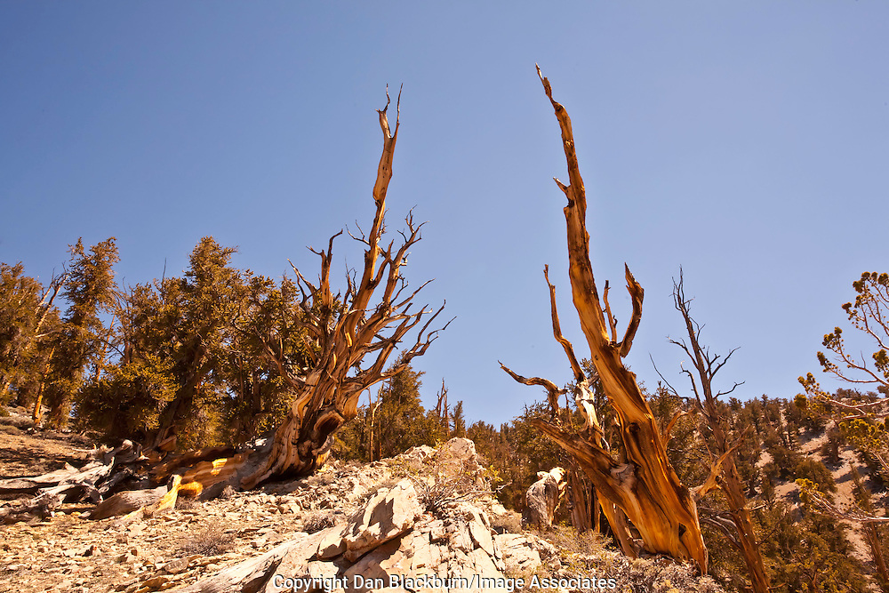 Bristlecone Pines, Ancient Bristlecone Pine Forest, White Mountains, California