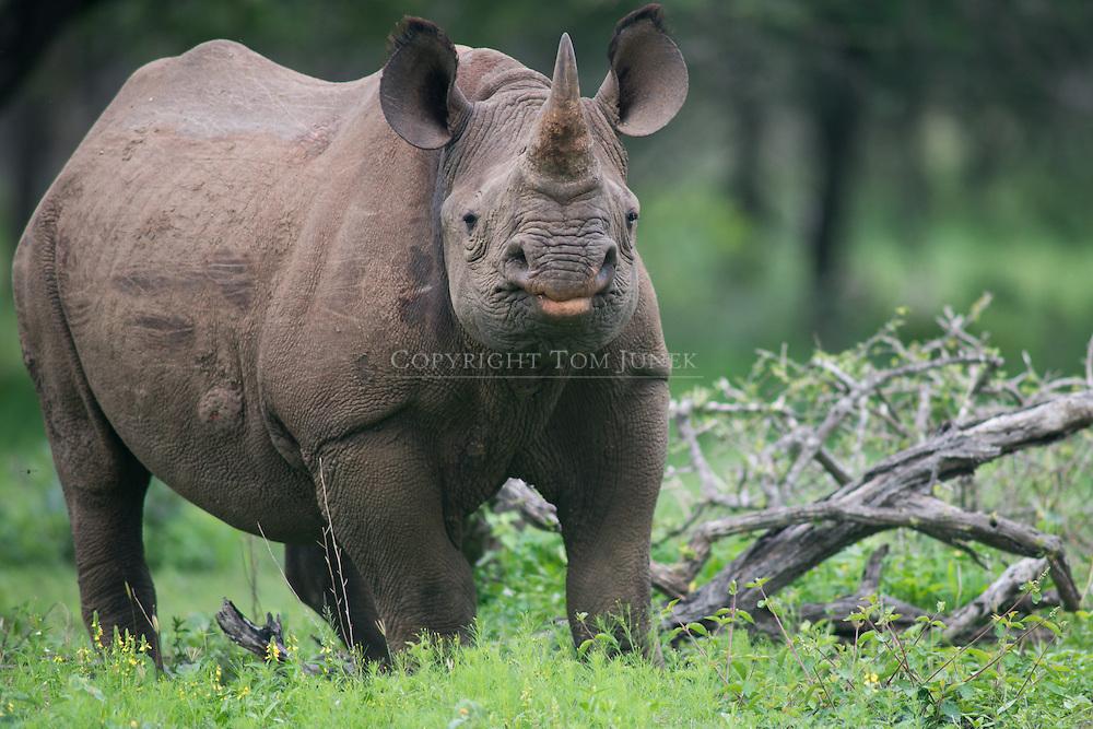 Diceros bicornis Black rhinoceros, Diceros bicornis, Spitzmaulnashorn, rinoceronte negro, Rhinocéros noir, 黑犀, وحيد القرن الأسود