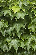 Leaves, Central France