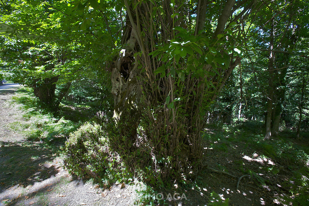 """The """"Castaniccia"""" has its name from the chestnut forests covering most of it."""