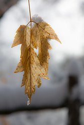 Dry leaves hanging from a tree in Winter