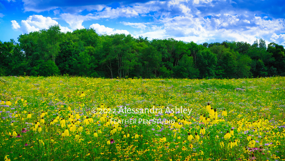 Central Ohio meadow resplendent with native wildflowers in full bloom under a partly cloudy sky in late July.