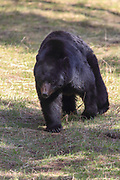 Large boar (male) Black bear in habitat.
