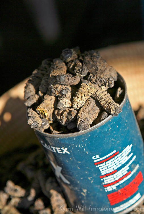 Africa, Namibia, Windhoek. Dried and smoked Mopane worms, found in street markets in Namibia, are eaten as a snack and a source of protein. Note the recycled motor oil cans used to scoop and serve.