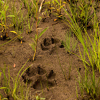 Fresh Wolf tracks in the mud at McNeil River