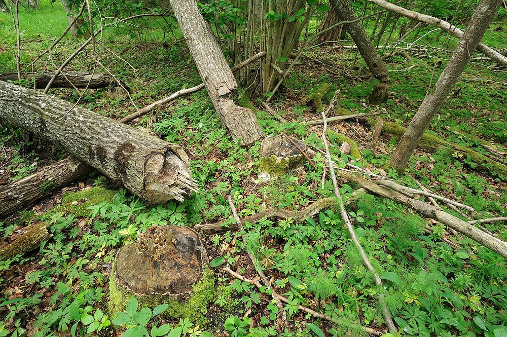 European beaver or Eurasian beaver (Castor fiber). Moricsala Strict Nature Reserve, Moricsala Island, Lake Usma, Latvia