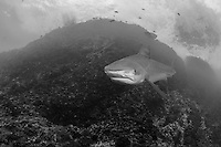 An aggressive Tiger Shark makes a very close pass.<br /> <br /> Shot at Cocos Island, Costa Rica