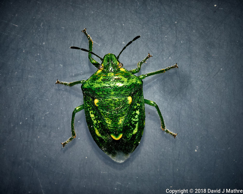 Green Stink Bug. Image taken with a Fuji X-T1 camera and 60 mm f/2.4 macro lens (ISO 200, 60 mm, f/16, 1/125 sec) + flash.