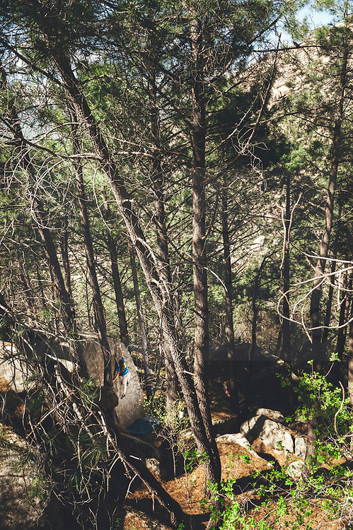Climber on a boulder problem in the middle of the forest surrounded by pine trees