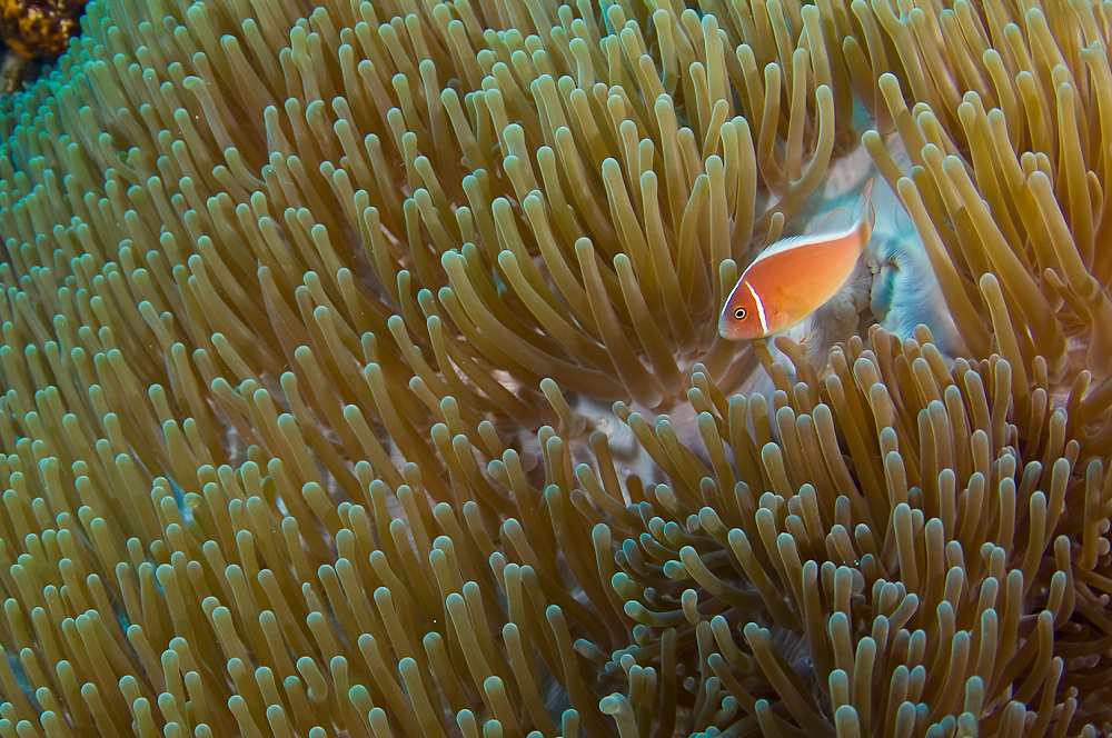 Pink Anemonefish (Amphiprion perideraion) in Komodo National Park.