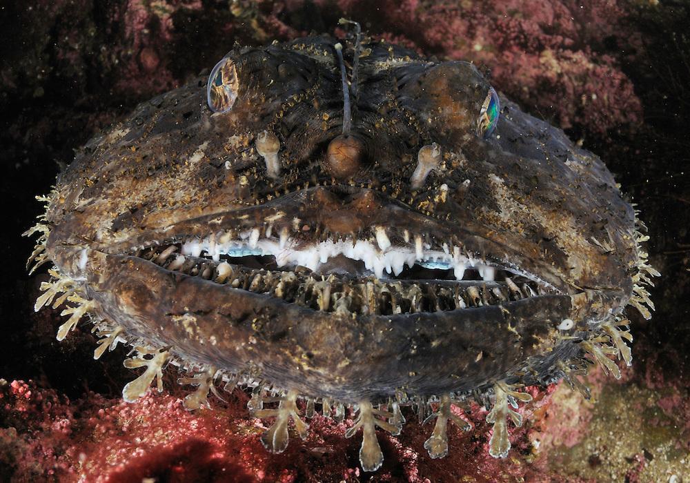 Monkfish, Anglerfish, Lophius piscatorius<br /> Atlantic marine life, Saltstraumen, Bod&ouml;, Norway