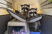 Raccoon <br /> Procyon lotor<br /> Seven-week-old orphaned babies resting in hammock of crate (in backyard of foster home)<br /> WildCare, San Rafael, CA