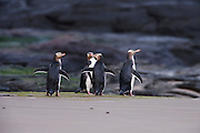 Four yellow-eyed penguins (Megadyptes antipodes), also known as Hoiho, dry their wings after emerging from the Pacific Ocean at Jack's Bay in the Catlins at the southern tip of the South Island of New Zealand. Yellow-eyed penguins are endangered and are one of the most rare penguins in the world with a total population of only about 4,000. About 90 percent of the yellow-eyed penguin's diet consists of fish. During the breeding season, many of the penguins spend the entire day hunting in the ocean. They enter the Pacific Ocean at dawn and return at dusk, venturing as far as 25 kilometers (16 miles) offshore and diving to depts of up to 120 meters (394 feet).