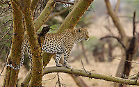 Leopard (Panthera pardus) in an Acacia tree at first light, Northern Serengeti