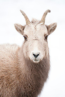 A Bighorn Sheep ewe forages for winter food on the National Elk Refuge in Jackson Hole, Wyoming.