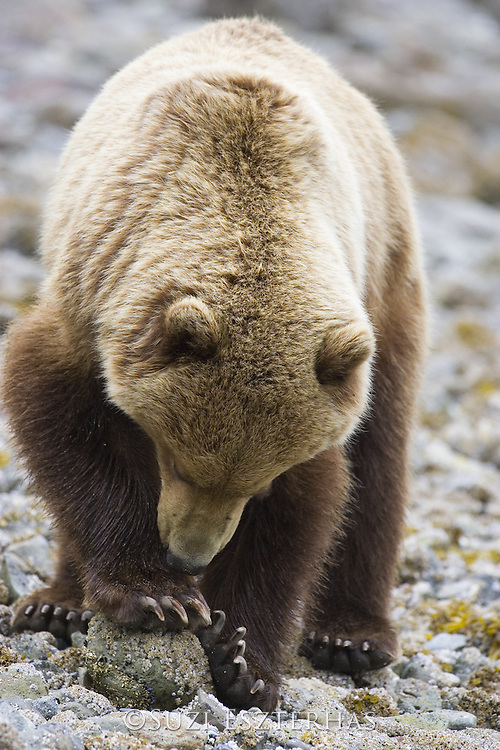 Alaskan Brown Bear<br /> Ursus arctos middendorffi<br /> Clamming<br /> Katmai National Park, AK