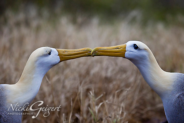 Portrait of two albatross' courting, closeup. Wildlife and animal photography prints for sale. Fine art photography wall art, stock images.