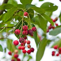Amelanchier ( Serviceberry)