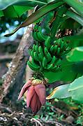 Banana<br />