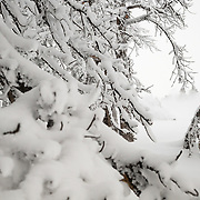 Tanner Flannagan skis through snow covered tree branches in the Teton backcountry.