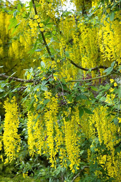 Laburnum cv in flower