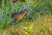 Virginia rail peering out of the grasses
