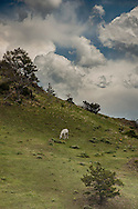 Horse grazing, storm, clouds, Absaroka Mountains, outside Livingston, Montana