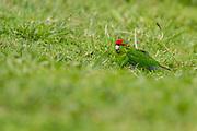 Red-crowned Parakeet, Tiritiri Matangi, New Zealand
