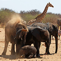 Africa, Namibia, Etosha. Elephants having dust bath at a water hole in Etosha National Park.