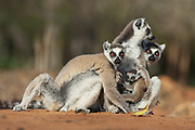 Ring-tailed Lemur<br /> Lemur catta<br /> Mother and 1-2 week old baby huddled with troop members<br /> Berenty Private Reserve, Madagascar