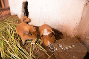 Guinea pig or cuy, offered as food at a restaurant in Pisac, Peru.