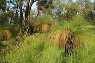 Grass Trees (Xanthorrhoea sp.) are ancient members of the lily family found in Australia. They are very long-lived, slow growing and highly adapted to withstand bushfires. This group was photographed in The Darling Ranges, which lie along the  edge of the Great Plateau of Western Australia in the Southwestern Corner of the State.