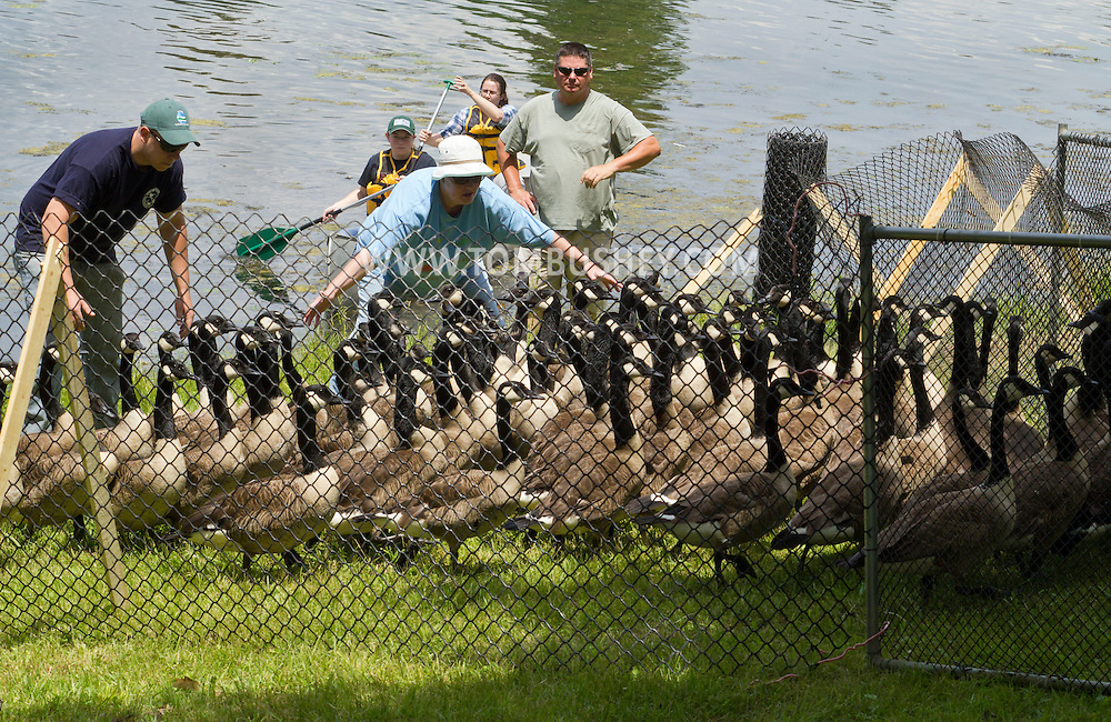 Middletown, New York -  New York State Department of Environmental Conservation workers herd Canada geese into a pen by a lake at the National Shrine of Our Lady of Mount Carmel on June 23, 2014. The DEC  then banded the geese that did not already have bands. Geese are banded in late June and early July because they are molting and unable to fly.  Banding helps scientists learn about the birds' migration, feeding patterns and other behaviors.