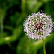 Close-up shot of a dandelion, by Jem Guanzon.<br />