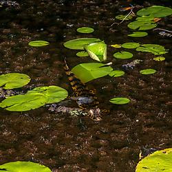 """""""Jacaré-de-papo-amarelo (Caiman latirostris) fotografado em Linhares, Espírito Santo -  Sudeste do Brasil. Bioma Mata Atlântica. Registro feito em 2015.<br /> <br /> <br /> <br /> ENGLISH: Broad-snouted caiman photographed in Linhares, Espírito Santo - Southeast of Brazil. Atlantic Forest Biome. Picture made in 2015."""""""