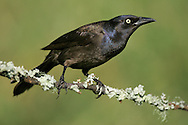 Common Grackle - Quiscalus quiscula - Adult female